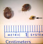 Bed Bug Exterminator Grand Rapids